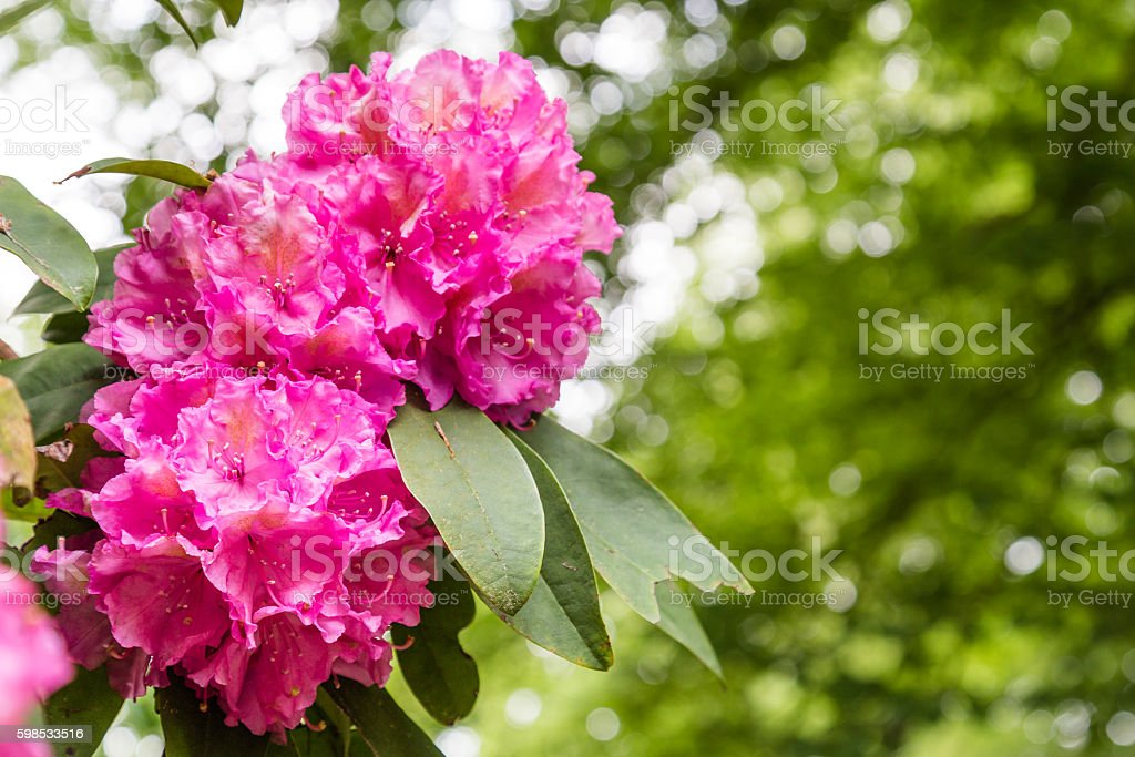 Close-up of pink Rhododendron Flowers photo libre de droits