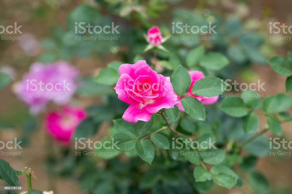 close-up of pink rose flower 'Carefree Wonder' royalty-free stock photo