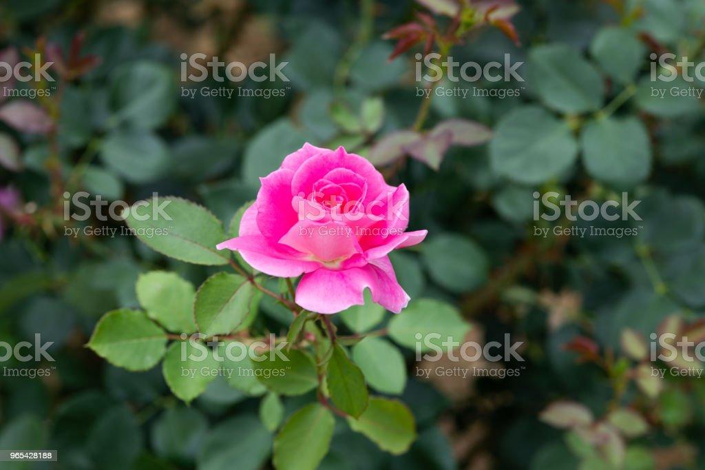 close-up of pink rose flower 'Carefree Wonder' zbiór zdjęć royalty-free