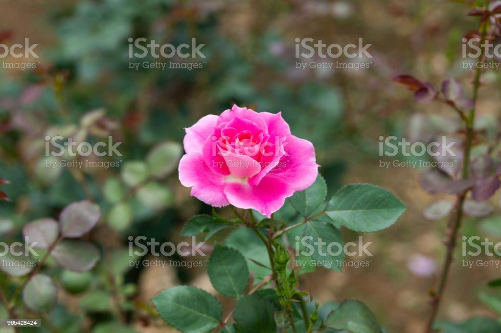 close-up of pink rose flower 'Carefree Wonder' royalty-free stock photo