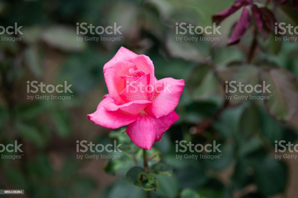 핑크 장미 꽃 'Houjun'의 클로즈업 - 로열티 프리 0명 스톡 사진