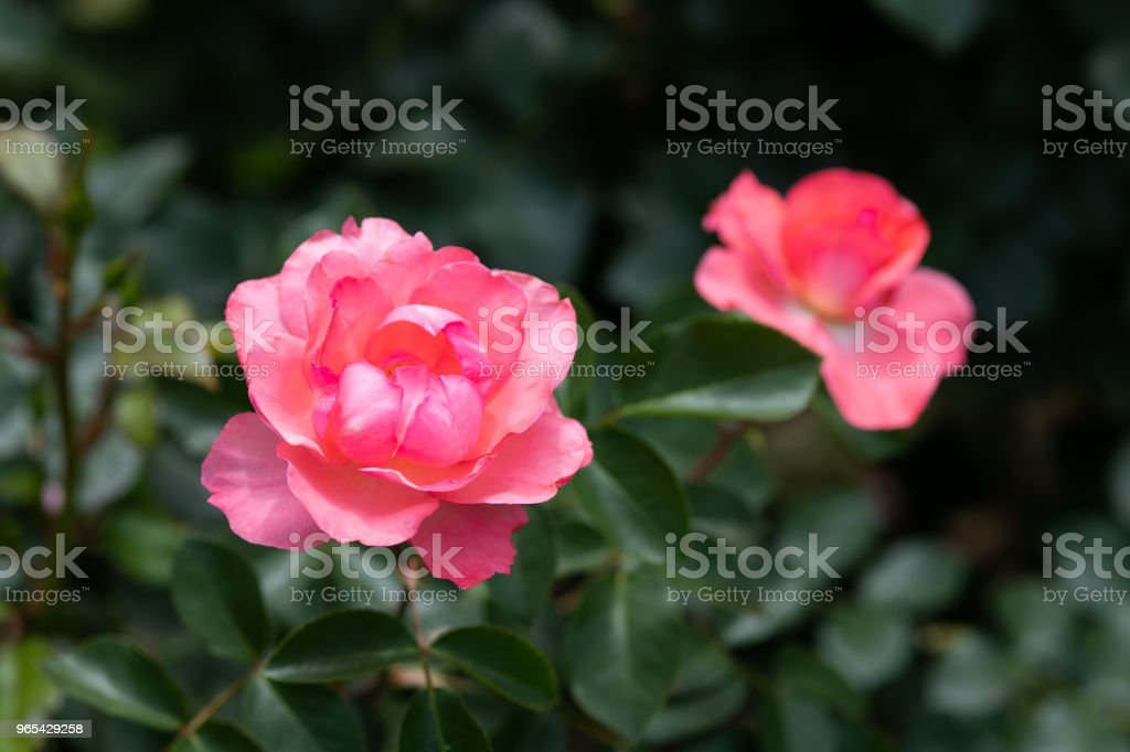 close-up of pink rose flower 'Jardins de France' royalty-free stock photo