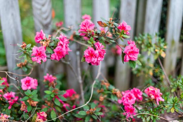 Closeup of pink roses petals in summerspring autumn garden vibrant picture id1127880234?b=1&k=6&m=1127880234&s=612x612&w=0&h=bnivbulfnutoof5hcj3vkxhq4wqwxe8ofnw 85tgqr4=