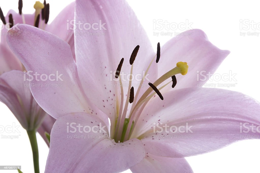 Closeup of pink speckled Asiatic lily. royalty-free stock photo