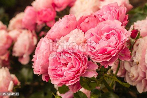 closeup of pink hybrid tea roses in bloom