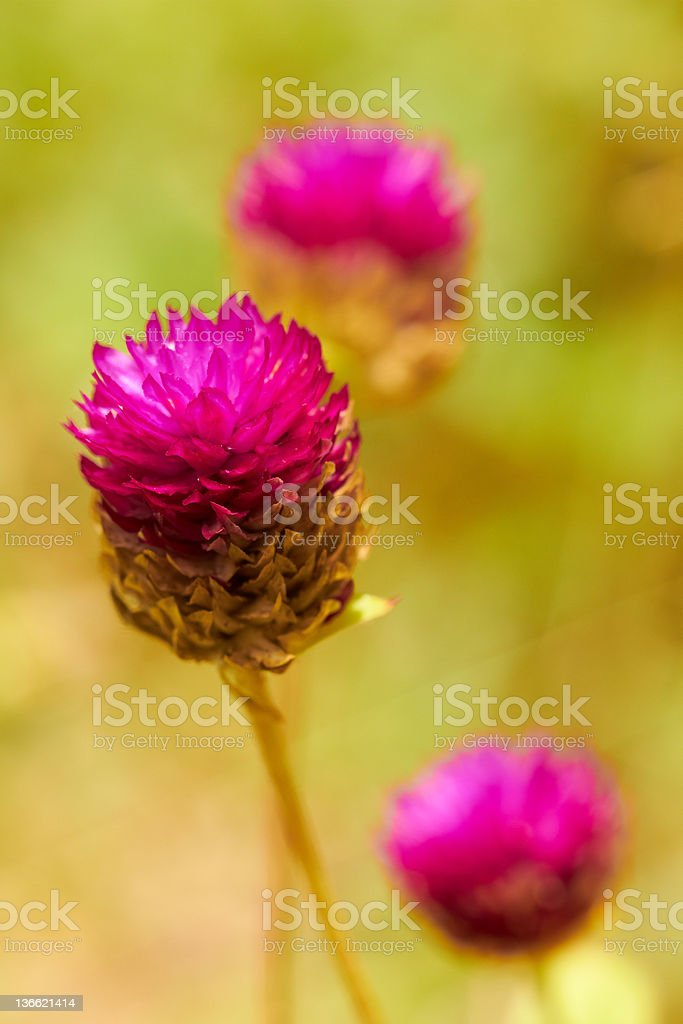 Closeup of pink tropical flowers in meadow stock photo