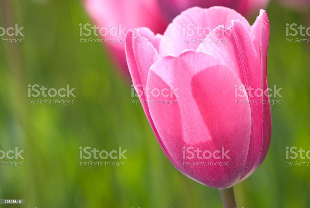Closeup of pink tulip stock photo