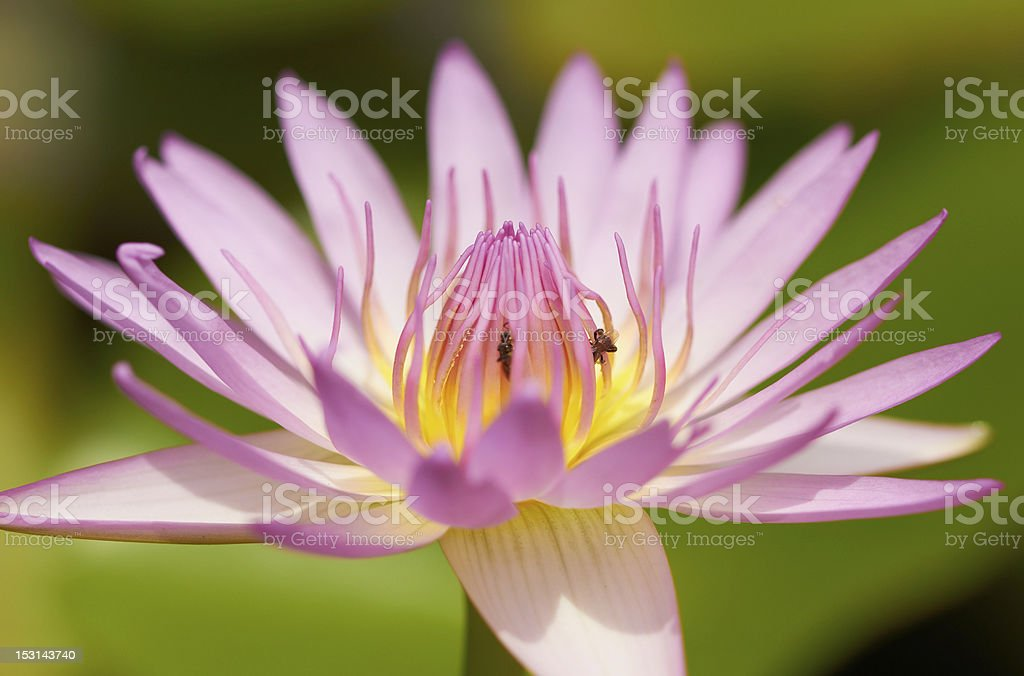 Closeup of pink water lily tropical flower stock photo