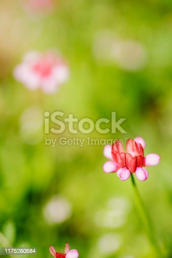 Close-up of Pink Wildflower