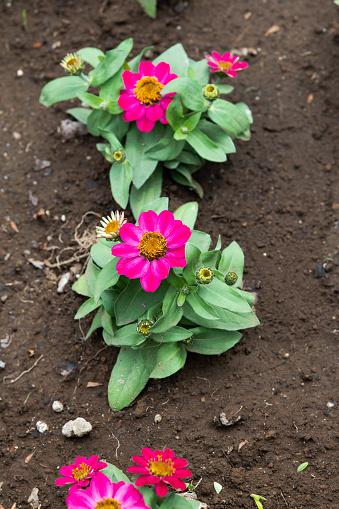 핑크 백 일초 꽃의 근접 촬영 0명에 대한 스톡 사진 및 기타 이미지