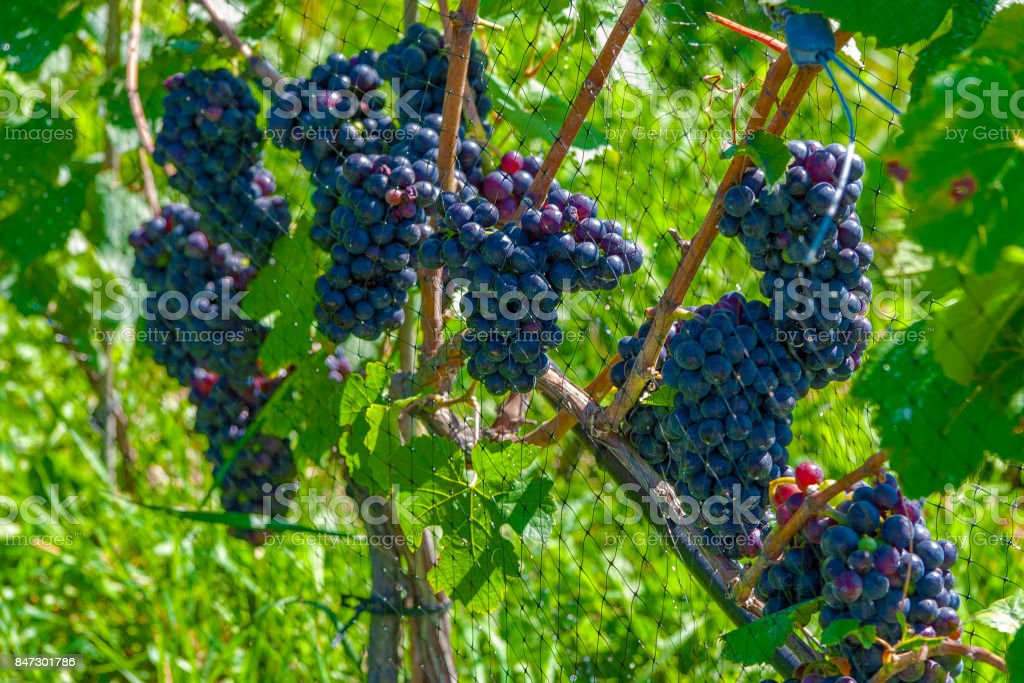 Closeup of Pinot Noir Wine Grapes on the Vine - foto stock