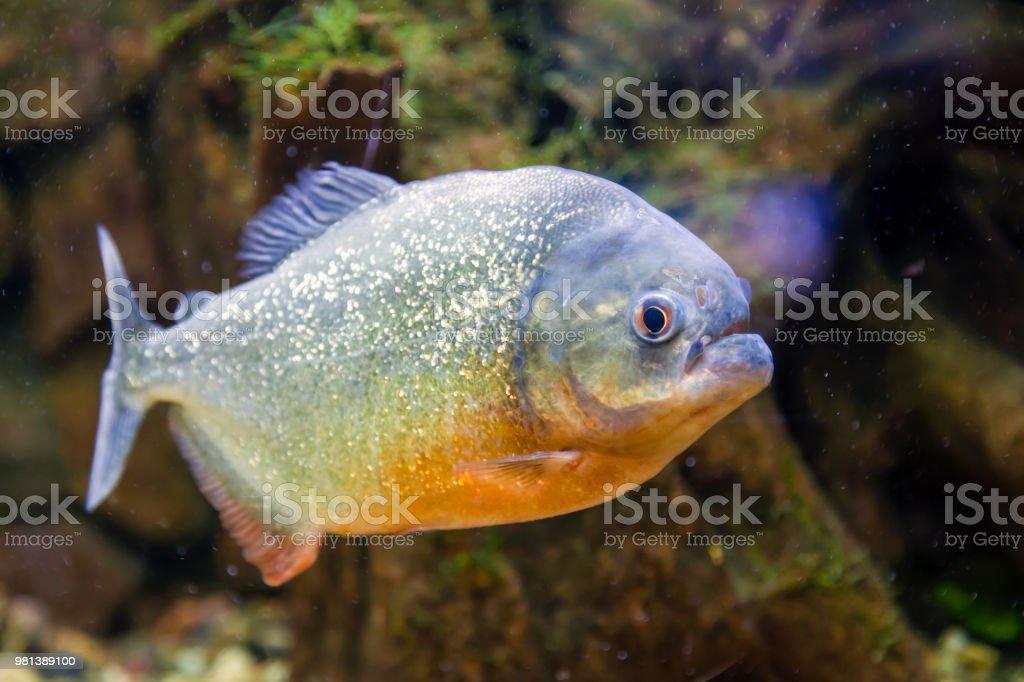 Closeup Of Piranha Fish Stock Photo - Download Image Now