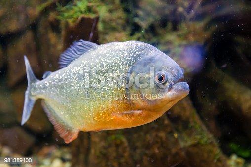 Close-up of piranha fish or serrasalmus nattereri floating and looking at the camera in an aquarium