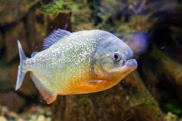 close-up of piranha fish - pirania zdjęcia i obrazy z banku zdjęć