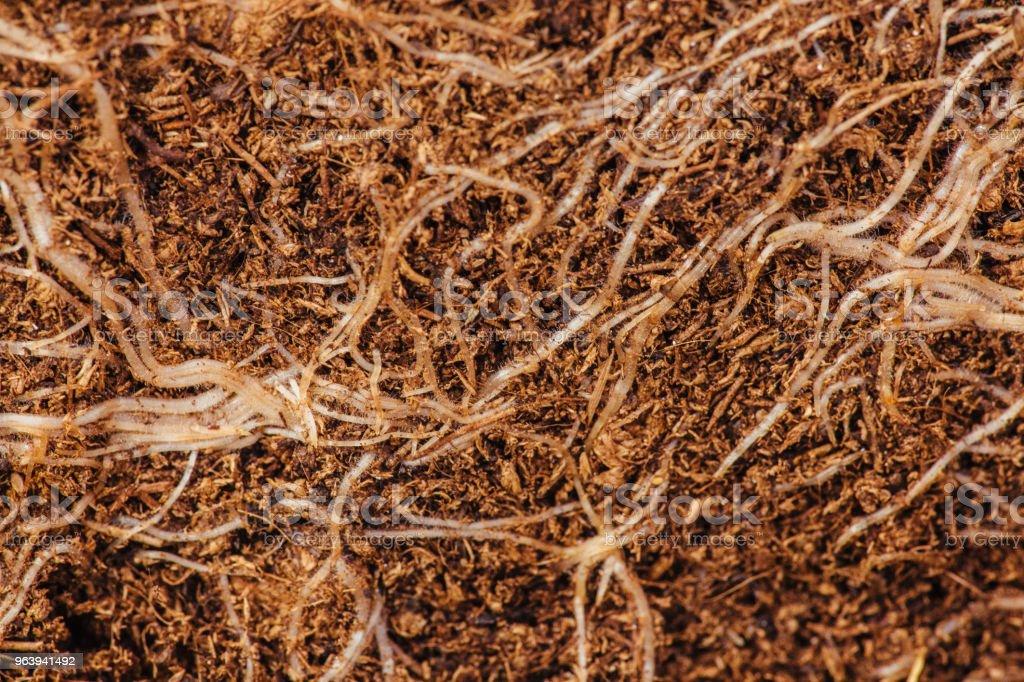 ながら植え替える植物の根のクローズ アップ - カラー画像のロイヤリティフリーストックフォト