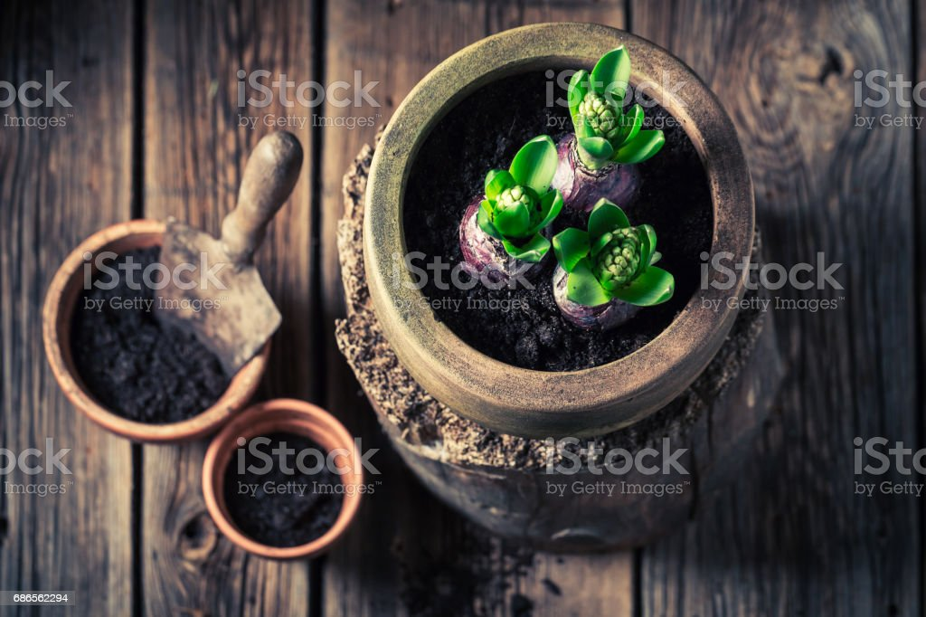 Closeup of planting a green crocus and old gardening tools royalty-free stock photo