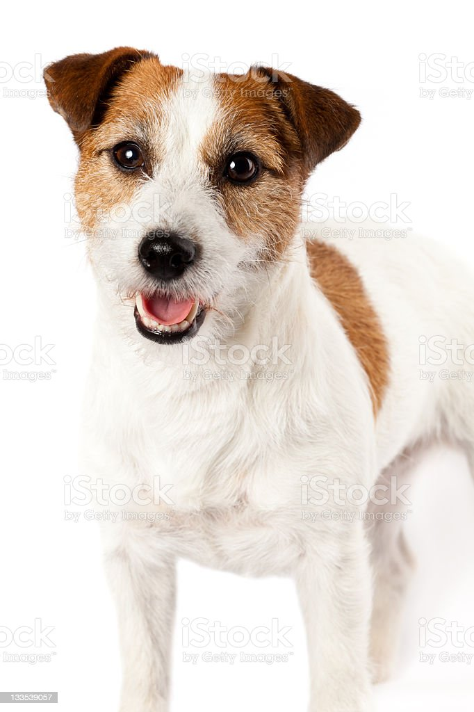 Close-up of playful Jack Russel terrier on white background stock photo