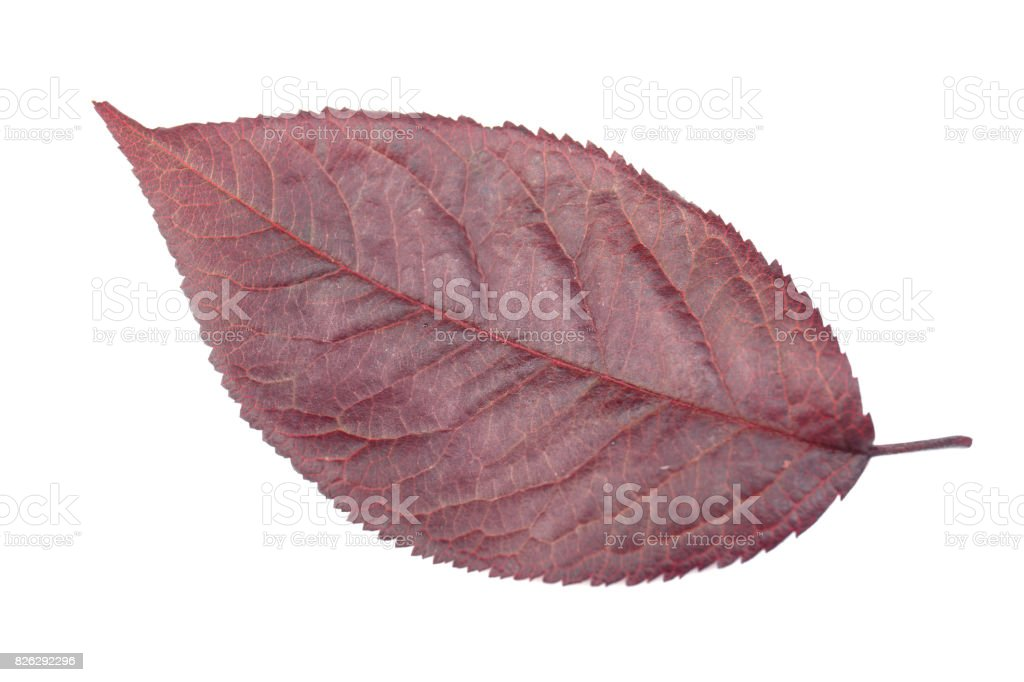 Close-up of plum leaf, isolated on a white background. Burgundy plum leaf. Red leaf of the plum tree. Autumn or summer leaves. stock photo
