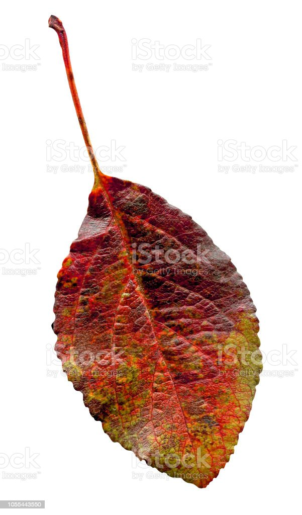 Closeup Of Plum Leaf Red Leaf Of The Plum Tree Isolated Stock