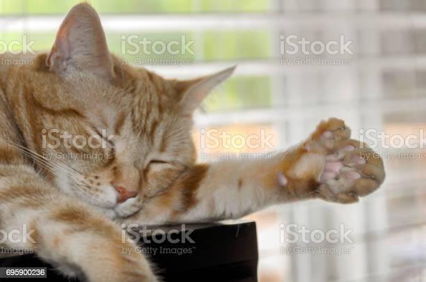 Closeup of polydactyl cat sleeping showing extra toes picture id695900236?b=1&k=6&m=695900236&s=612x612&h=ajbnl7b3d1sbczhhbjwyxvpdmi pifxlb zxjri94rk=