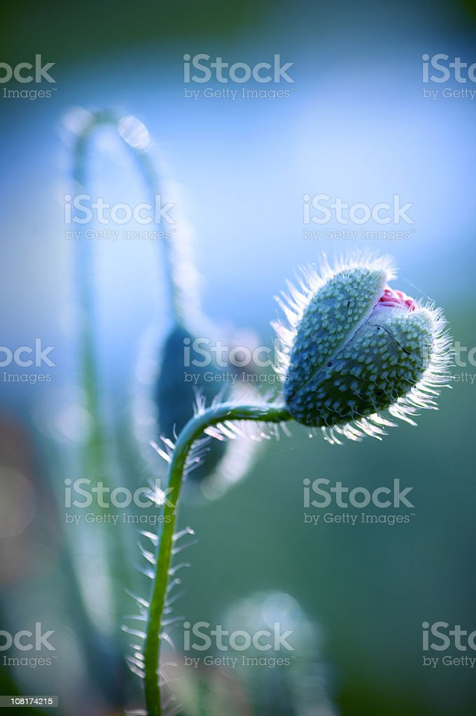 Close-up of Poppy Flower Head Opening royalty-free stock photo