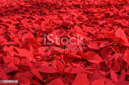 Close-up of vibrant red Poinsettia (Euphorbia pulcherrima) plants being grown at a California nursery in preparation for the holiday season.  Taken in Watsonville, California, USA.