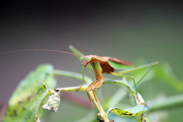 close-up of praying mantis perched on tomato plant - pam schodt stock photos and pictures