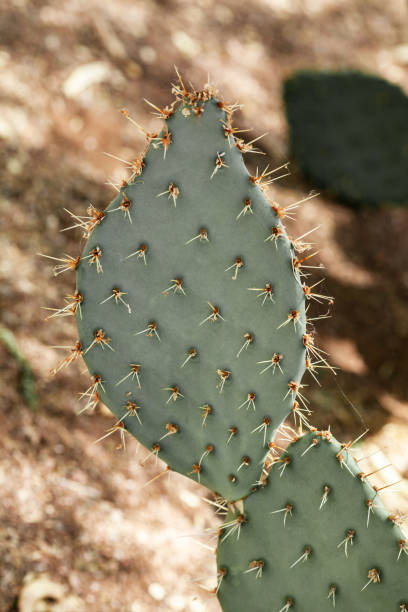 Closeup of prickly pear cactus at natural sunlight in desert of Arizona, textured succulent plant stock photo