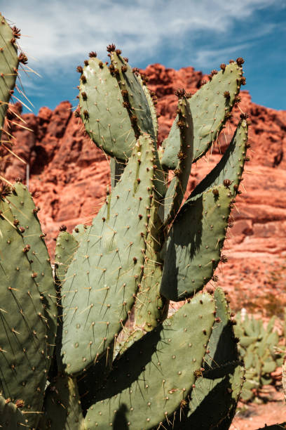 Closeup of prickly pear cactus in colorful desert, natural background and wallpaper stock photo
