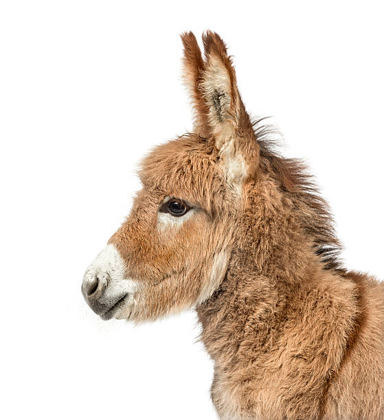 Close-up of Provence donkey foal isolated on white Close-up of a Young Provence donkey, foal isolated on white foal young animal stock pictures, royalty-free photos & images