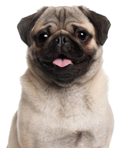 Close-up of Pug, 8 months old, in front of white background stock photo