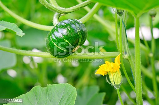 Close-up of growing pumpkin on vine at greenhouse.
