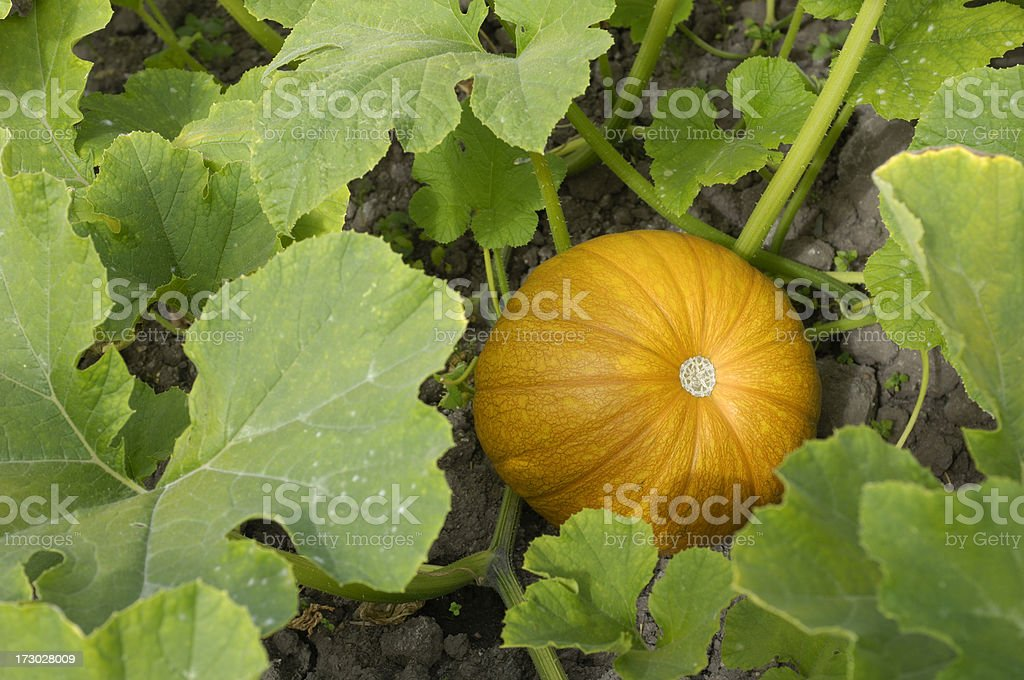 Close-up of Pumpkin Ready for Harvesting stock photo