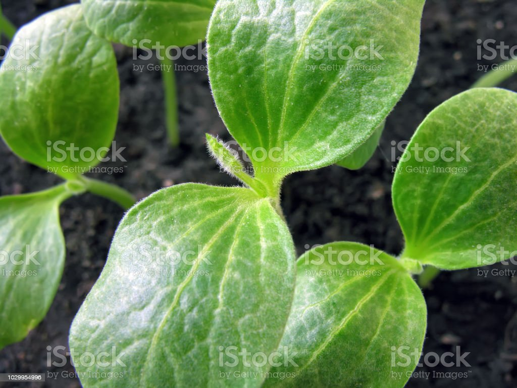 close-up of pumpkin sprouts in the vegetable garden stock photo