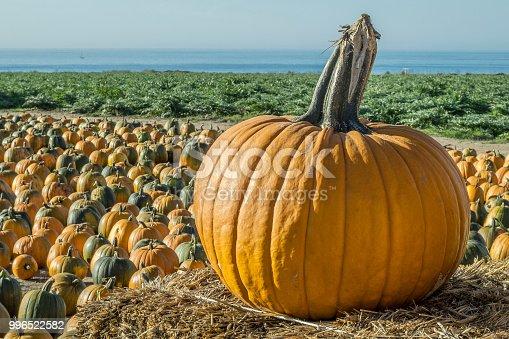 Pumpkins ready for selecting at a coastal pumpkin farm.  Taken in Davenport, California, USA.