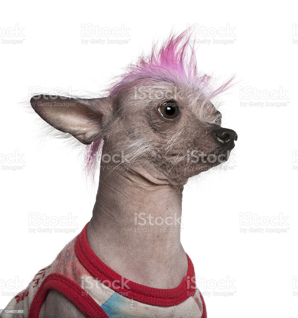 Close-up of Punk dressed Chinese Crested Dog. royalty-free stock photo