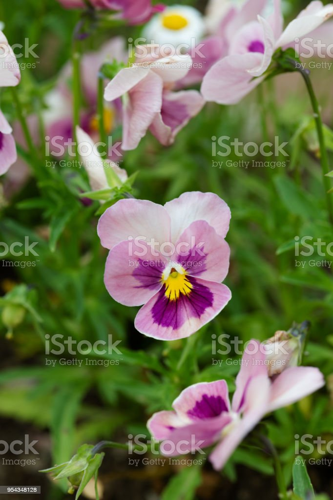 Closeup of purple and pink pansy flower stock photo more pictures close up of purple and pink pansy flower royalty free stock photo mightylinksfo