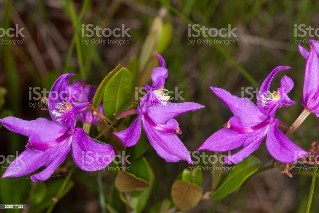 Closeup of purple flowers of grass pink orchid, New Hampshire. stock photo