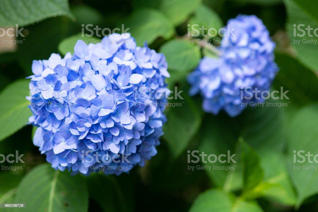 close-up of purple hydrangea flower zbiór zdjęć royalty-free