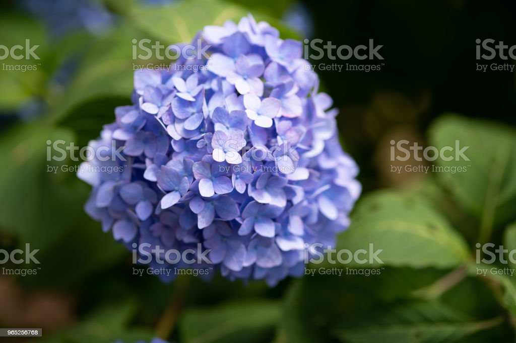 close-up of purple hydrangea flower royalty-free stock photo
