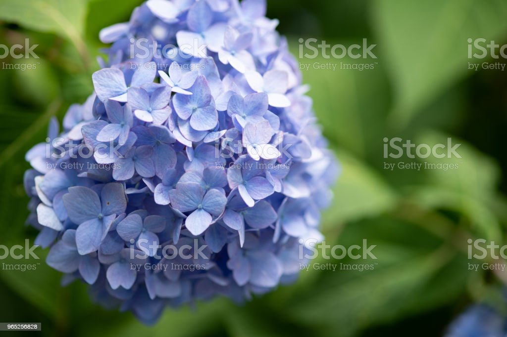 close-up of purple hydrangea flower zbiór zdjęć royalty-free