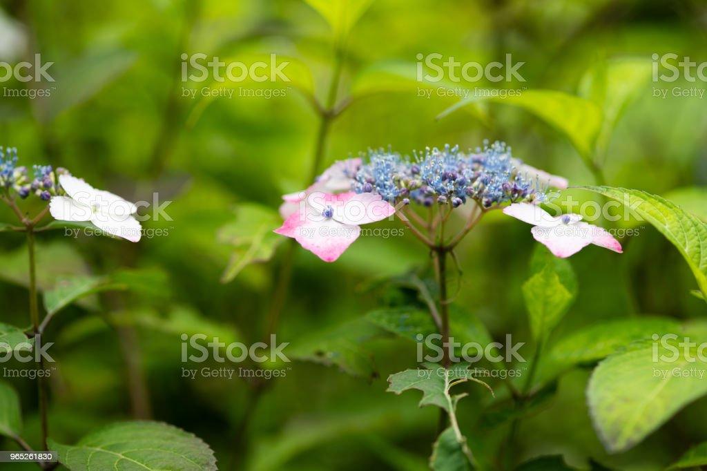 close-up of purple hydrangea flower royalty-free stock photo