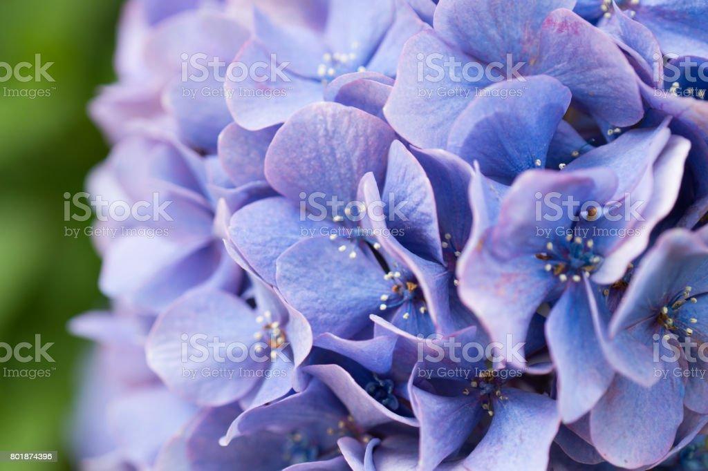 紫のアジサイのクローズ アップ ストックフォト