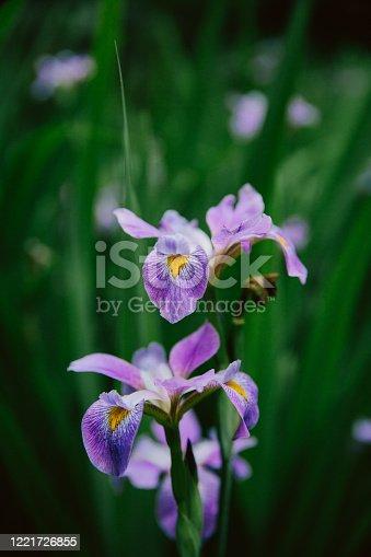 istock Close-up of purple Iris Flower 1221726855