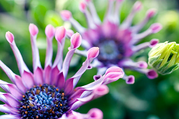 Close-up of Purple Osteospermum Daisy stock photo