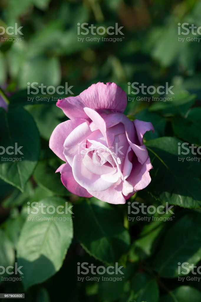 close-up of purple rose flower 'Charles de Gaulle' in early mornig stock photo