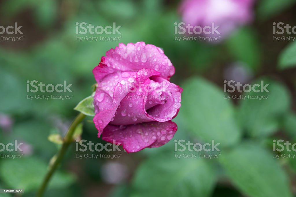close-up of purple rose flower 'Charles de Gaulle' in rain stock photo