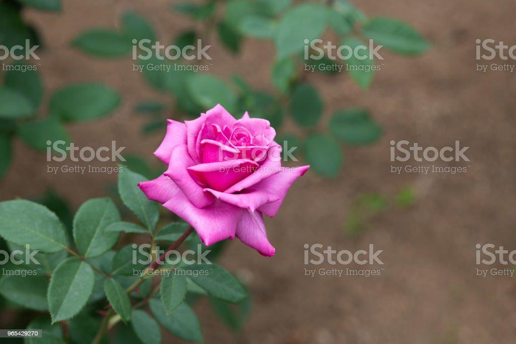 close-up of purple rose flower 'Shiun' zbiór zdjęć royalty-free