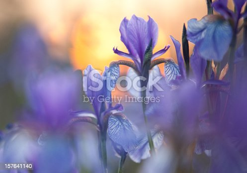istock Close-up of purple Siberian iris with low light 157641140
