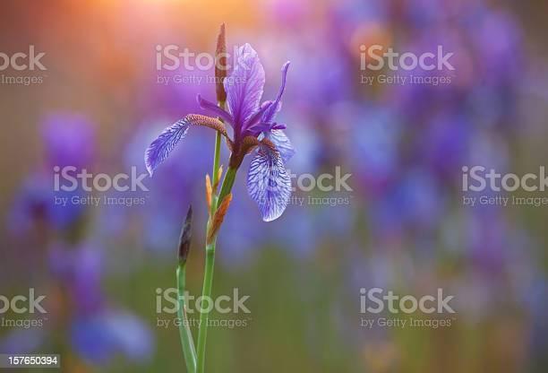 Closeup of purple siberian iris with low light picture id157650394?b=1&k=6&m=157650394&s=612x612&h=x8x9hj8cukjwayuj1gvxlfrx7bhh29hxydo14za rz0=